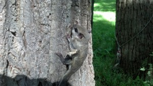 flying squirrel removal Rochester, NY