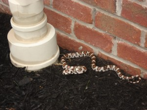 Snake Removal Rochester, NY