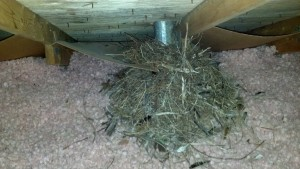 Large starling nest in a attic.