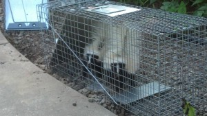 Skunk Removal Rochester, NY